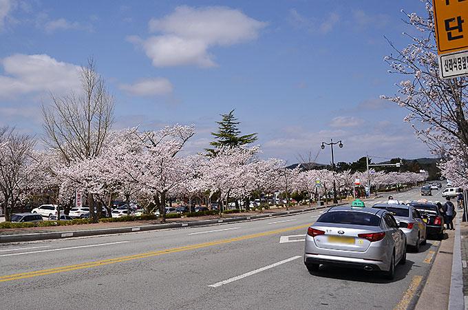 慶州市の沿道にはさくらさくらさくら