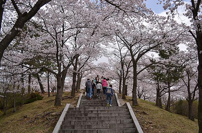 あとで調べたら20万本もの桜があるようです!