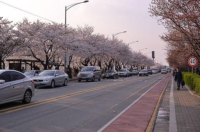韓国の桜を楽しむ!ヨイドの春の花祭り