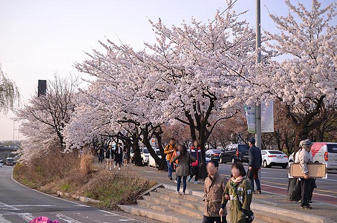 ヨイドの桜まつり川沿い一面にさくら