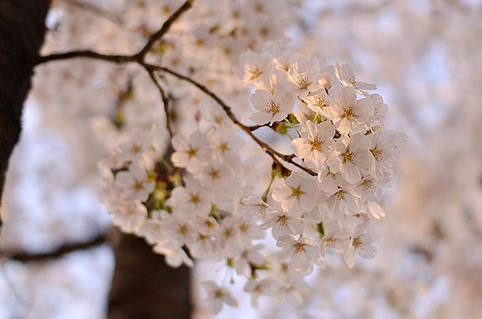 韓国ソウル・ヨイドの桜まつり – 永登浦汝矣島春の花祭りに行ってきた!