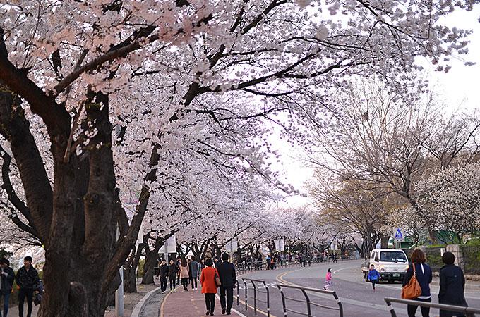 何キロにもわたって桜並木道が続いています。