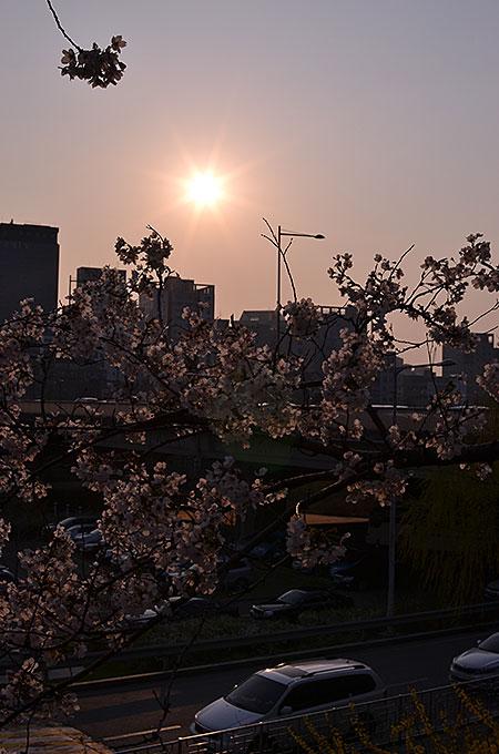 ちょっと日が沈みかけの時に行ったのですが桜はきれい