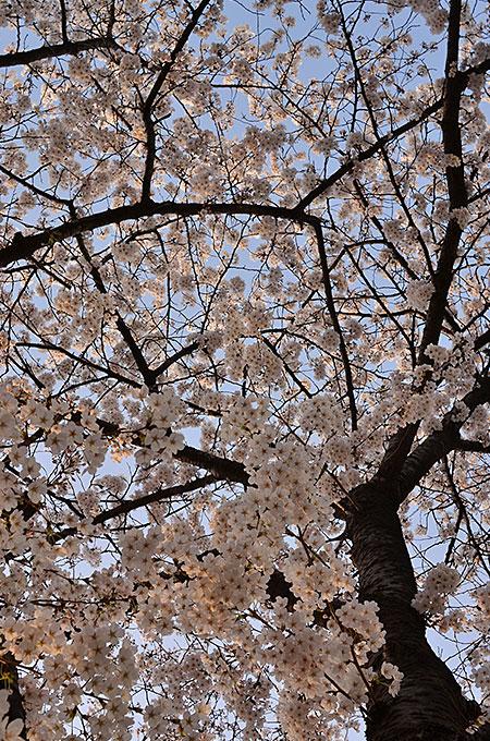 ヨイドの桜を見に行ってみてはいかがでしょうか?