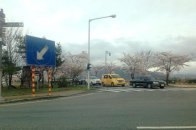 慶州市の街中桜並木道!