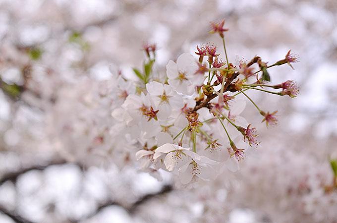 2016年のソウルの桜は満開が予定よりも早かった。