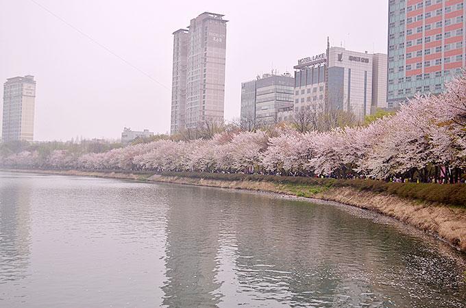 ぜひ機会がありましたら、잠실 チャムシル(蚕室)の桜まつりにいってみてはいかがでしょうか♪
