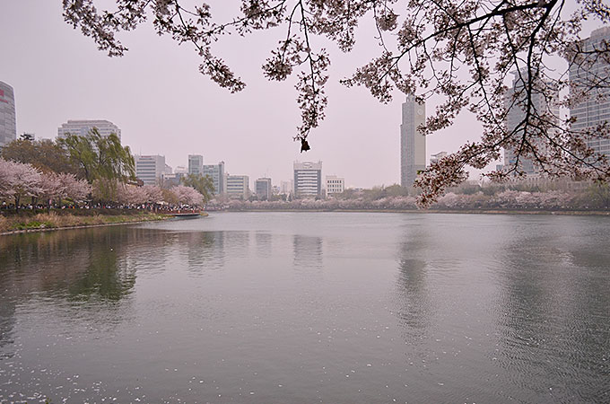 この石村湖という湖の周りに桜が植えられているようで、桜に囲まれた湖も綺麗