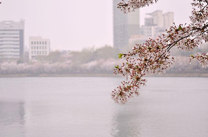 チャムシル(잠실)の石村湖桜まつり02