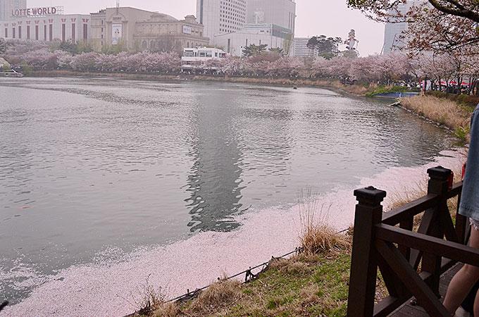 チャムシル(잠실)の石村湖桜まつり 水辺には散ったさくらが浮かんで綺麗でした。
